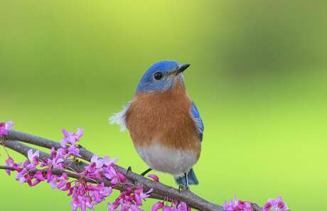 """Male eastern bluebirds perch in the yard softly singing """"chuwee-chuwee"""" tunes. In March, full warbling song will begin."""