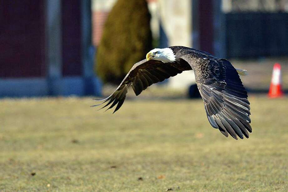 A bald eagle that was struck by a tractor-trailer truck last month is soaring again. On Jan. 22, 2020, the eagle collided with the windshield of an 18-wheeler in West Haven as it was landing for roadkill on I-95. On Tuesday, Feb. 11, 2020, it was released again at an undisclosed location on Regional Water Authority land. Photo: A Place Called Hope Photo