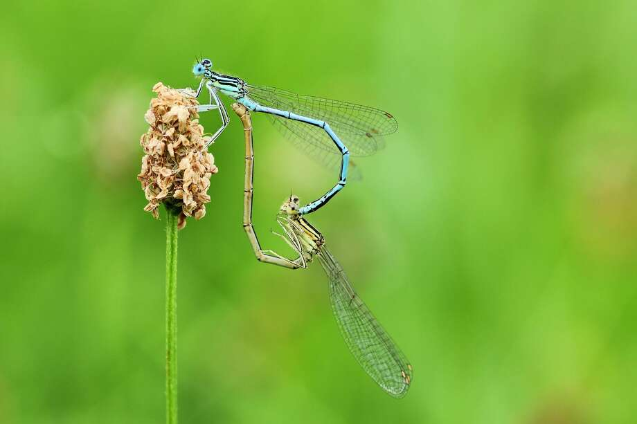 Two damselflies join together in a heart-shaped mating ritual. Photo: Woodcock Nature Center / Contributed Photo / Wilton Bulletin Contributed