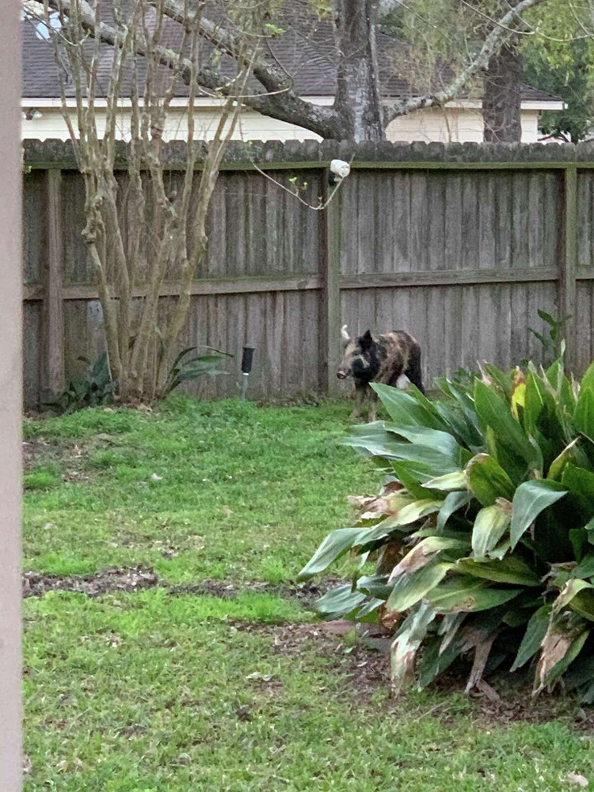 Powe's wife Taryn said her neighbors have expressed concern about their own safety when venturing outside their homes due to the increase in feral hog sightings.