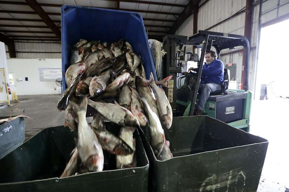 Asian carp are unloaded at a fisheries in Wickliffe, Ky. The advance of the invasive carp threatens to upend aquatic ecosystems along the Mississippi River and dozens of tributaries. Photo: Mark Humphrey / Associated Press