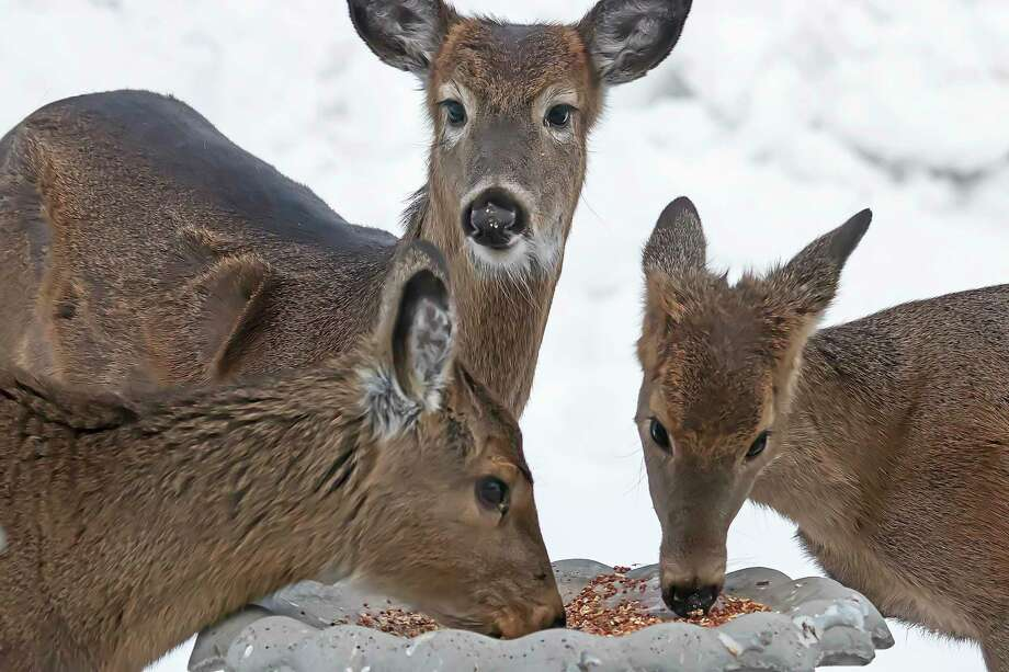With winter in full swing, Huron County wildlife is on the lookout for food wherever they can find it. These white-tailed deer were spotted visiting a backyard bird feeder in Western Huron County recently. (Bill Diller/For the Tribune)