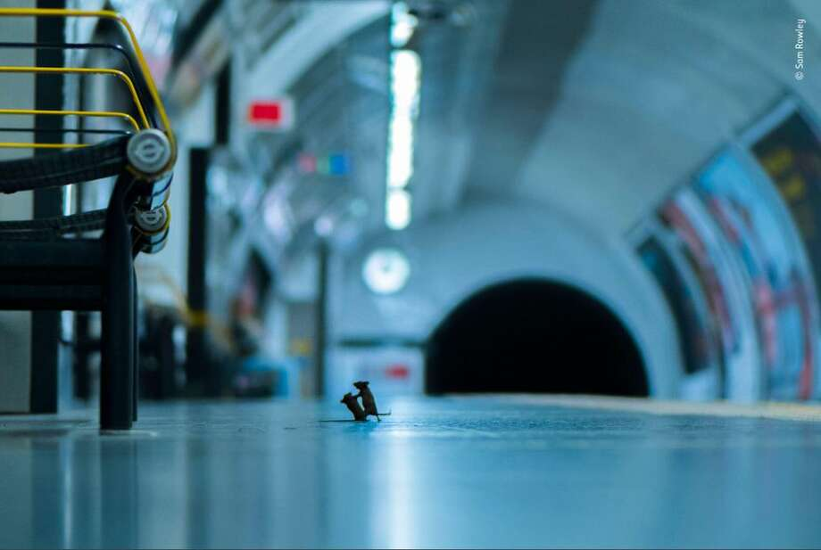 Wildlife photographer Sam Rowley won the Lumix People's Choice Award for wildlife photography for this photo of two mice fighting over a crumb in a London Underground station. Photo: Courtesy Sam Rowley