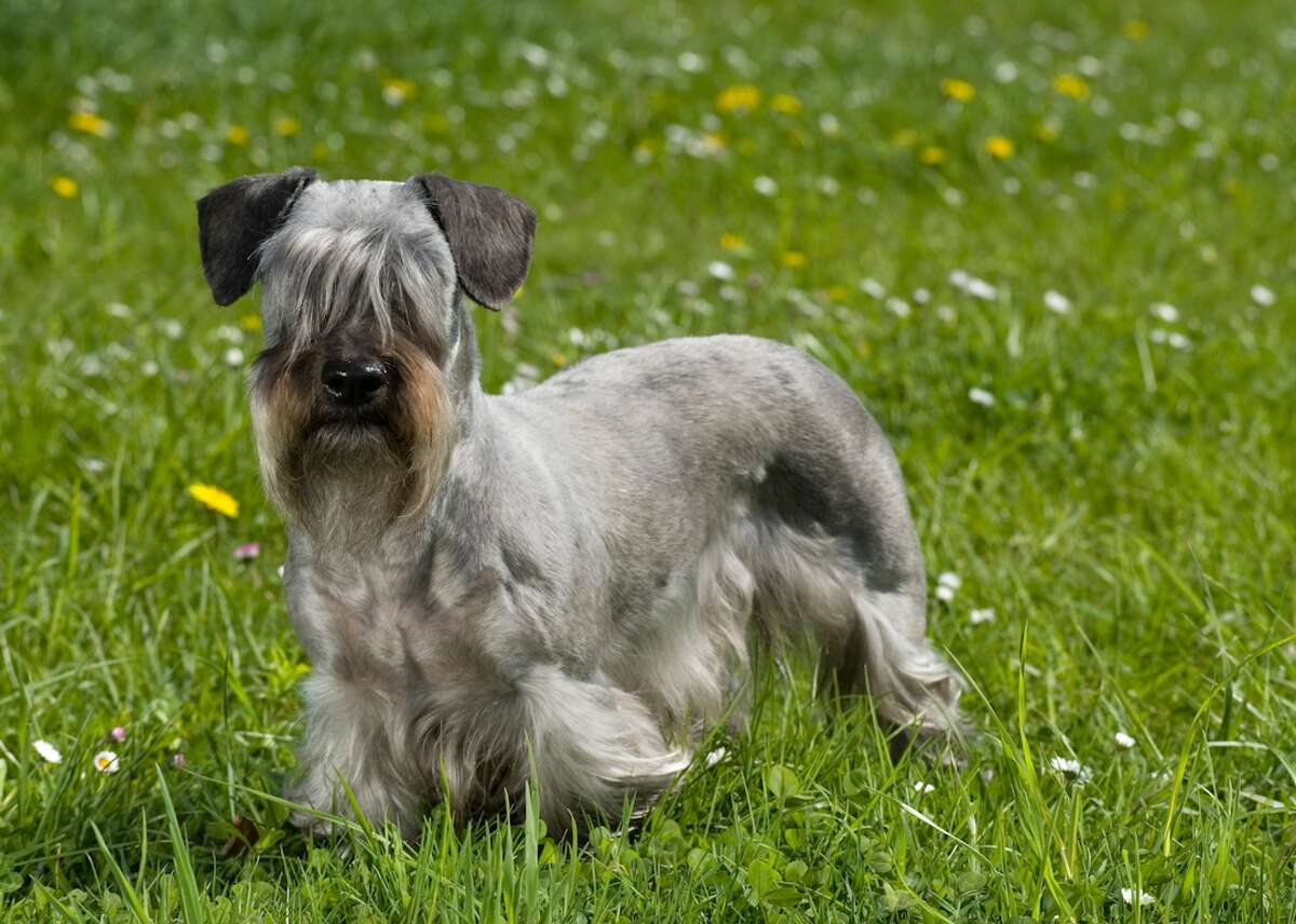 #43. Cesky terrier - 2018 AKC popularity rank: #185 - Full-grown height: 10-13 inches - Full-grown weight: 14-24 pounds - Traits: Tenacious, trainable Though somewhat active, the Ceskies (derived from the word