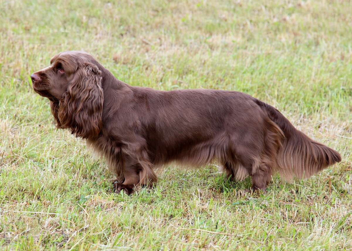 #42. Sussex spaniel - 2018 AKC popularity rank: #180 - Full-grown height: 13-15 inches - Full-grown weight: 35-45 pounds - Traits: Friendly Though not tall, Sussex spaniels are strong, low-built dogs that are cheerful (in the classic spaniel way), but not as active as others in the breed group. Walking around just a bit is enough to keep a Sussex happy. This slideshow was first published on theStacker.com