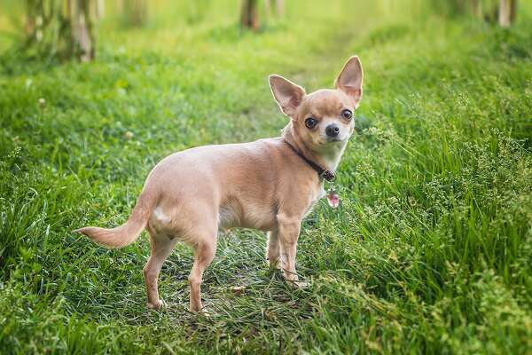 #9. Chihuahua - 2018 AKC popularity rank: #33 - Full-grown height: 6-9 inches - Full-grown weight: 3-6 pounds - Traits: Charming Chihuahuas are known as apartment-friendly dogs who like to play at home and revel in their territory. They are smart, so they need not be trained for very long, and their signature petite size means they don't demand a lot of space. You may also like: Most popular baby names for boys the year you were born This slideshow was first published on theStacker.com