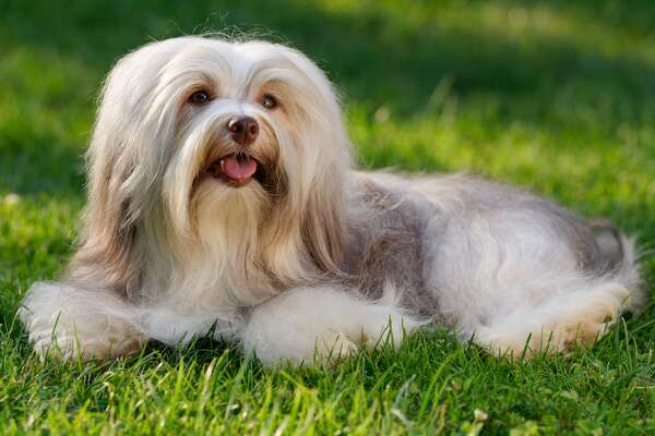 #7. Havanese - 2018 AKC popularity rank: #24 - Full-grown height: 8.5-11.5 inches - Full-grown weight: 7-13 pounds - Traits: Outgoing, intelligent The happy Havanese don't require much exercise and love hanging around the house entertaining their owners. Their soft coats are left short to keep from having to deal with frequent grooming, or they're corded similarly to the Puli. Native to Cuba, the Havanese are increasingly finding homes in small living quarters in large American cities. This slideshow was first published on theStacker.com