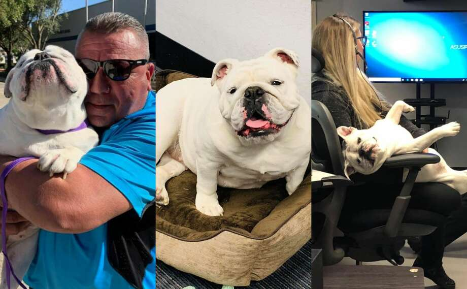 Bella is a 6-year-old British bulldog that was found abandoned in a car after her previous owner fled the scene of a crash. The city of Webster's dispatch center adopted Bella as an emotional support dog in late 2019. Photo: City Of Webster