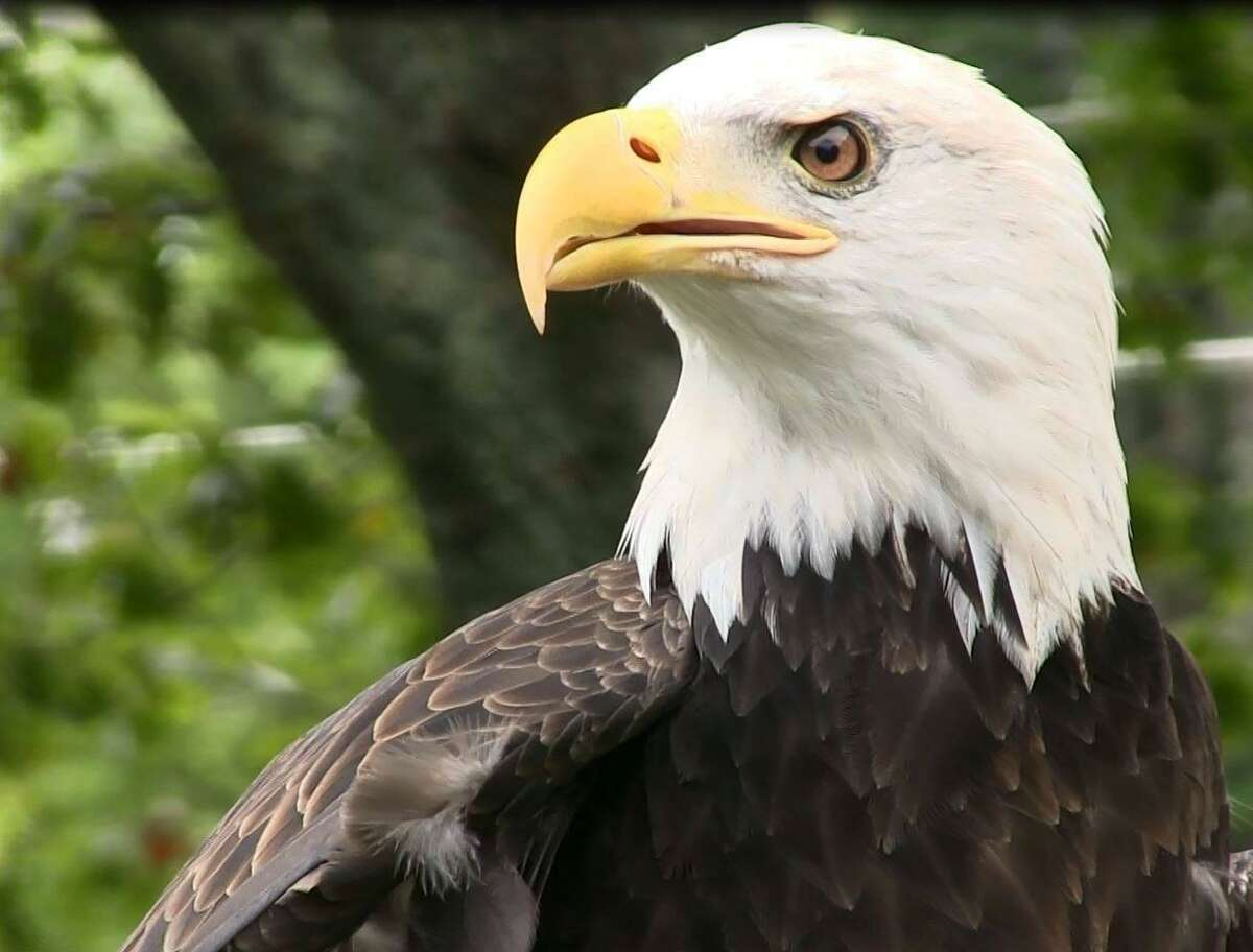 Atka, a 10-year-old bald eagle, was returned to a raptor rehabilitation center in Ashford, on Feb. 11, 2020, after being reported missing the previous day. State police are investigating the disappearance.