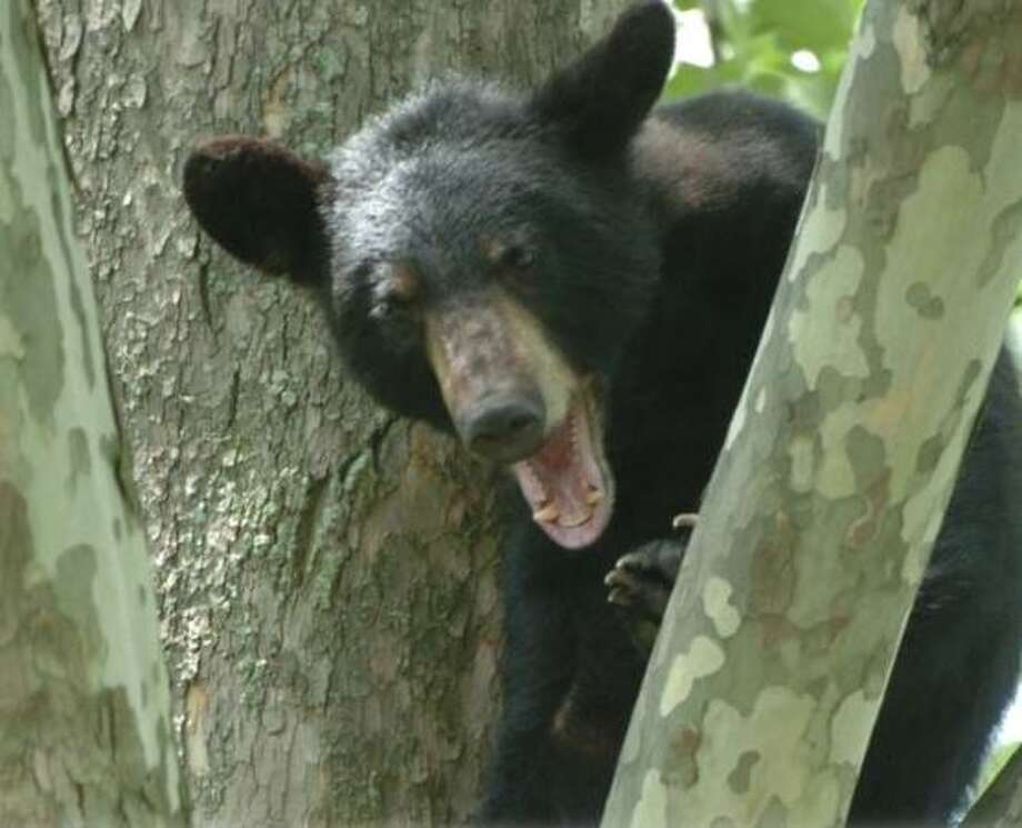 Hunters in NY got 1,505 black bears this past season. Photo: Times Union