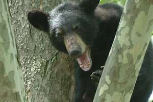 Hunters in NY got 1,505 black bears this past season.