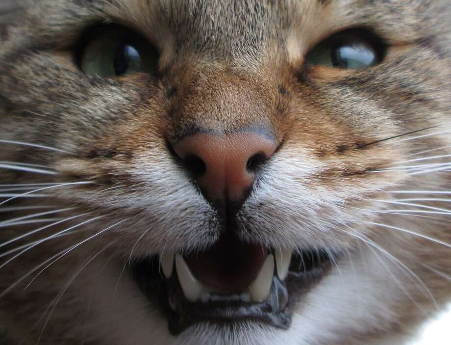 Owners are reminded to take care of their cat's teeth. Photo: Texas A&M University