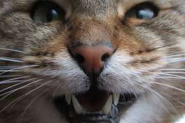 Owners are reminded to take care of their cat's teeth.