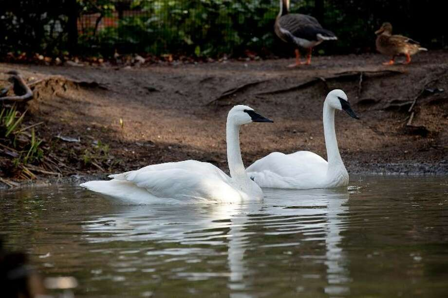 A new pair of trumpeter swans, Sarah and Cygmond, make their public debut on Valentine's Day at Woodland Park Zoo. Photo: Jeremy Dwyer-Lindgren/Woodland Park Zoo