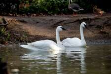 A new pair of trumpeter swans, Sarah and Cygmond, make their public debut on Valentine's Day at Woodland Park Zoo.