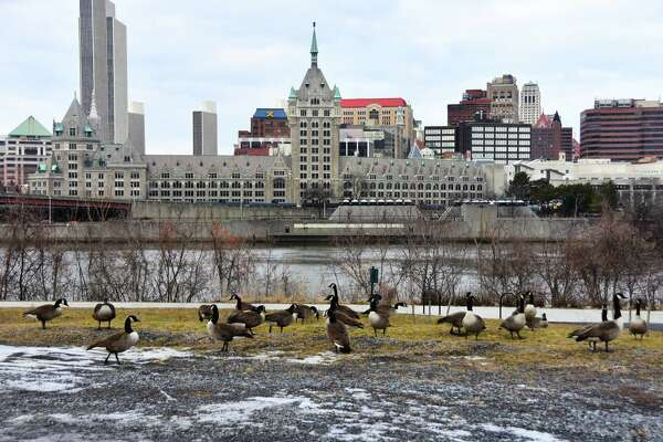 Canada geese forage on the waterfront in Rensselaer with the Albany skyline in the background on Wednesday, Feb. 12, 2020.