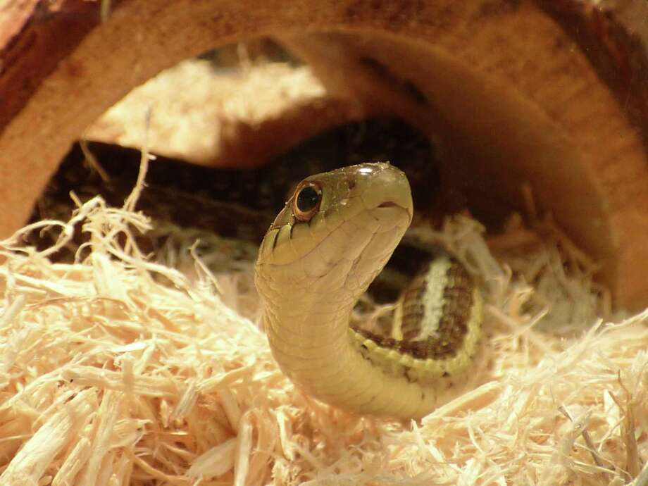 Saturday, Feb. 15: Snakes Alive! Discovering the Wonders of Snakes is set for 1 to 2 p.m. and 3 to 4 p.m. at the Chippewa Nature Center, 400 S. Badour Road in Midland. (Photo provided/Chippewa Nature Center)