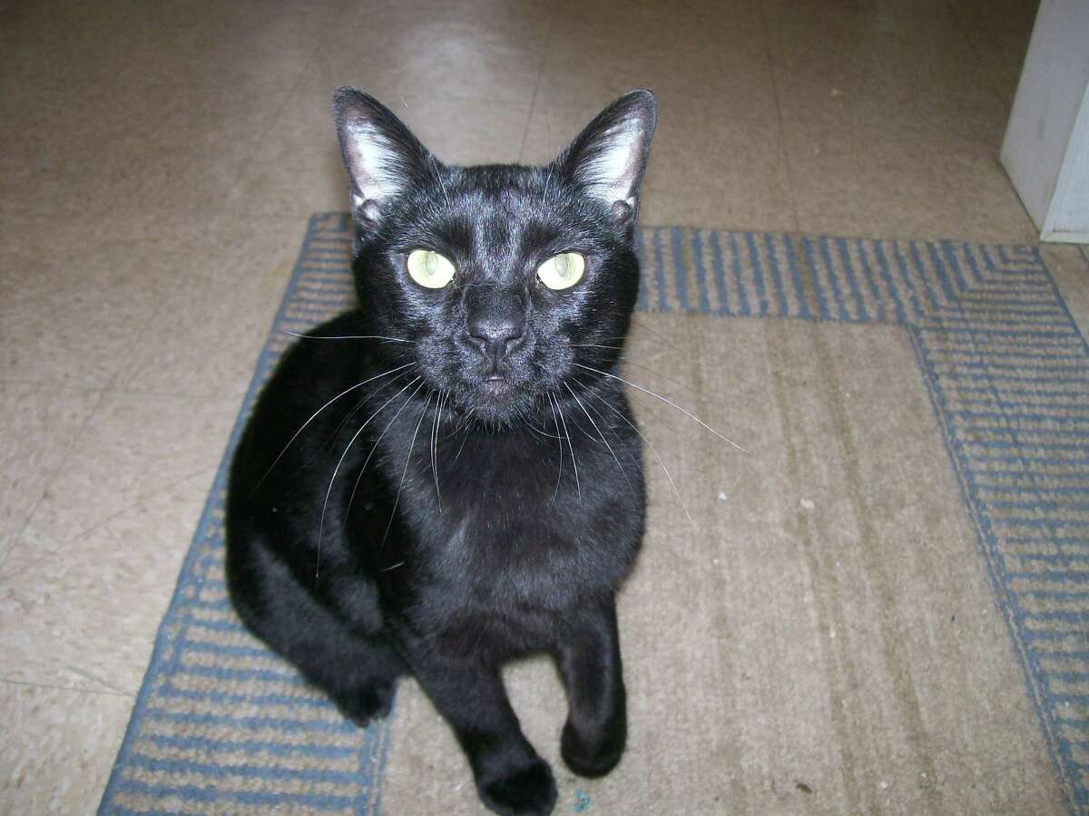 Panther is a very handsome jet black neutered male cat. He was found as a stray but very friendly. Visit Panther and other cats and dogs available for adoption at Trumbull Animal Shelter, 324 Church Hill Road or 203-452-5088 for more information.