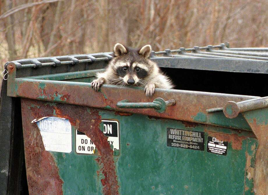 A raccoon peaks out from a trash dumpster after rummaging for a meal at an apartment complex in Effingham, Ill. Photo: File / TONY CAMPBELL / AP / EFFINGHAM DAILY NEWS