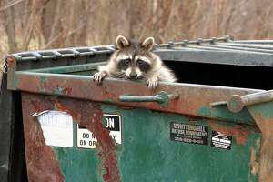 A raccoon peaks out from a trash dumpster after rummaging for a meal at an apartment complex in Effingham, Ill.