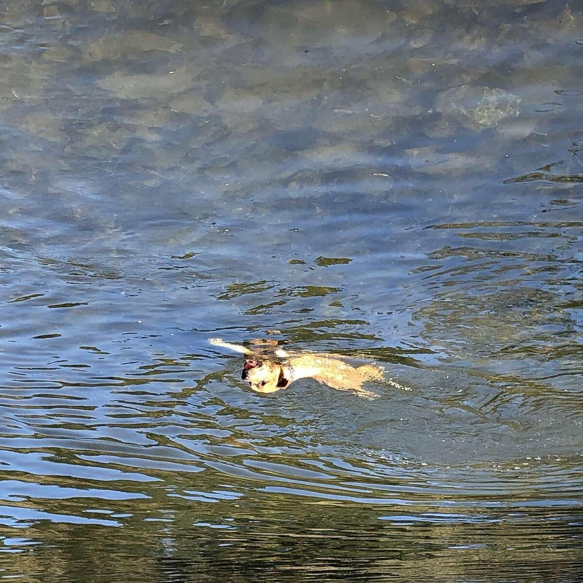 Dog swimming in upper reservoir McLaren park.
