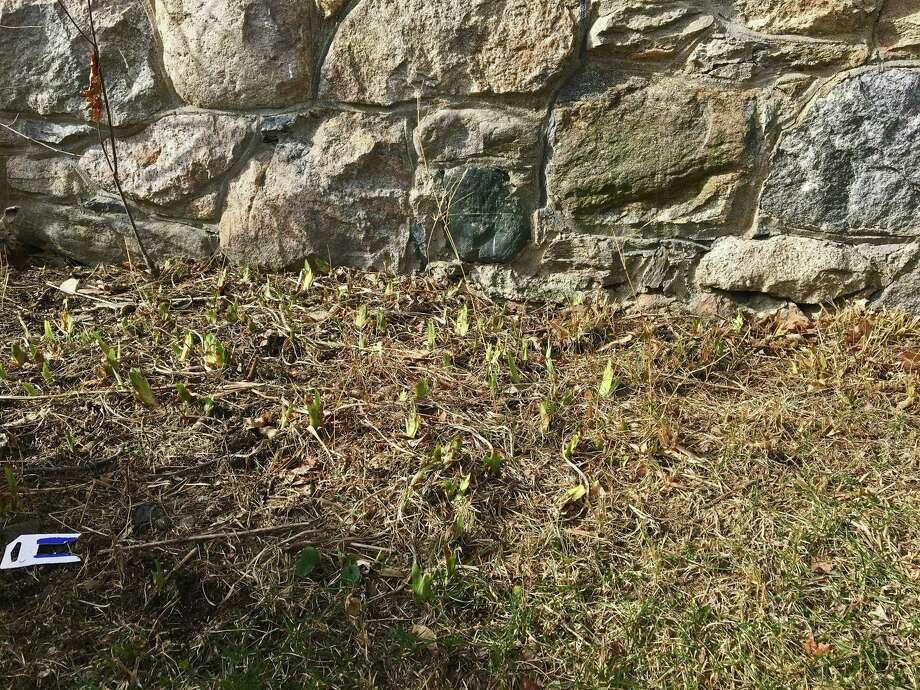 Irises await spring in Stamford. Photo: Ken Dixon / Hearst Connecticut Media