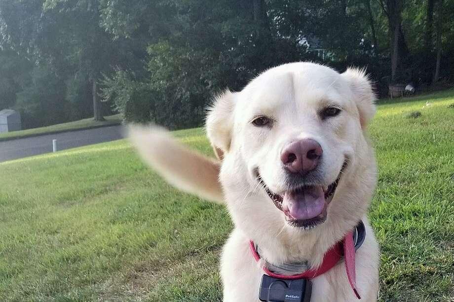 Dusty, the 4-year-old Husky-Labrador Retriever mix. Photo: Contributed Photo / Danielle O'Rourke / EyJpdiI6InpyVGVyZnFlWVZEbzdCNHltQ0piVEE9PSIsInZhbHVlIjoiYU9rbENLZ0F0WmNLMDdiZUJoU0xma0VVZTZIU2drNm1ITDdjczdHaEFycGpCNlE5eEx0Q1Js
