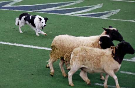 Angus herds a trio of sheep Sunday during the Sheep Dog Trials at the Cattle Barn. The event, which has held at the San Antonio Stock Show & Rodeo since 1997, showcases the precision and teamwork of dogs and their human handlers.