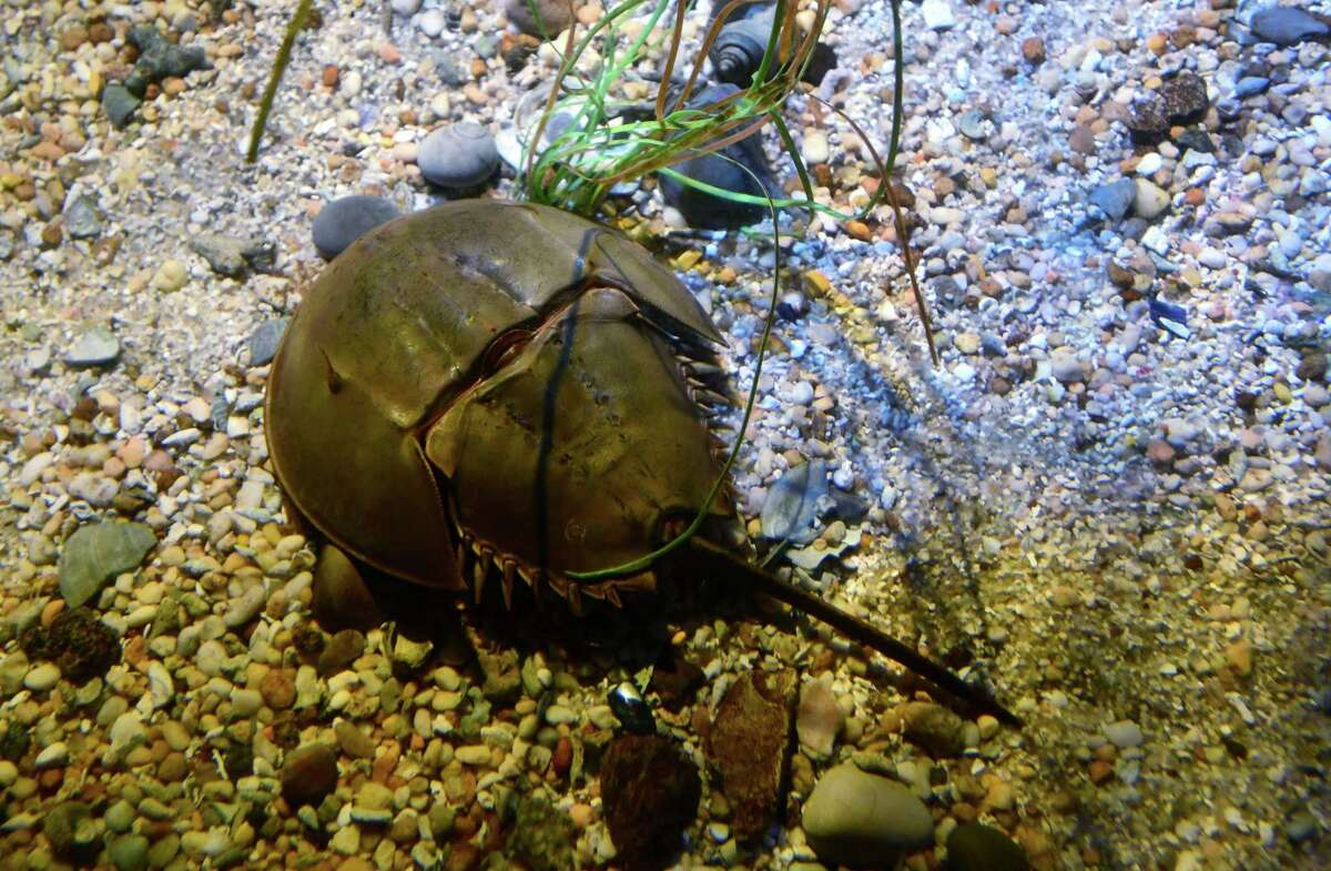 The Horseshoe crab tank at the Maritime Aquarium Thursday, January 24, 2019, in Norwalk, Conn. A team from UConn's engineering school is working on a project to replace the Maritime Aquairium's horseshoe crab display as part of a larger conservation effort to protect the dwindling numbers of horseshoe crabs which have been overfished mostly for the crabs rare medicinal purposes.