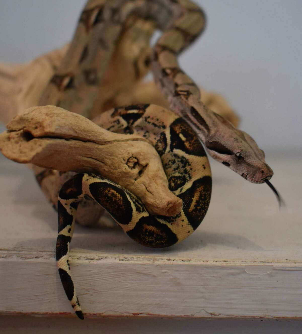 """The Colombian Red-Tailed Boa Constrictor acquired by Woodcock Nature Center is noted for the red """"saddles"""" on its tail. The center acquired the snake on Feb. 4."""