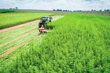 The U.S. Department of Agriculture is now offering two programs for farmers to insure their hemp fields. (University of Kentucky College of Agriculture/Courtesy Photo)