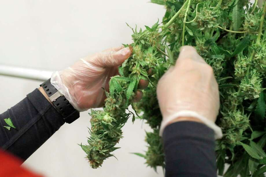 The cannabis leaf is trimmed from the stem and flower. Photo: Associated Press / Copyright 2020 The Associated Press. All rights reserved