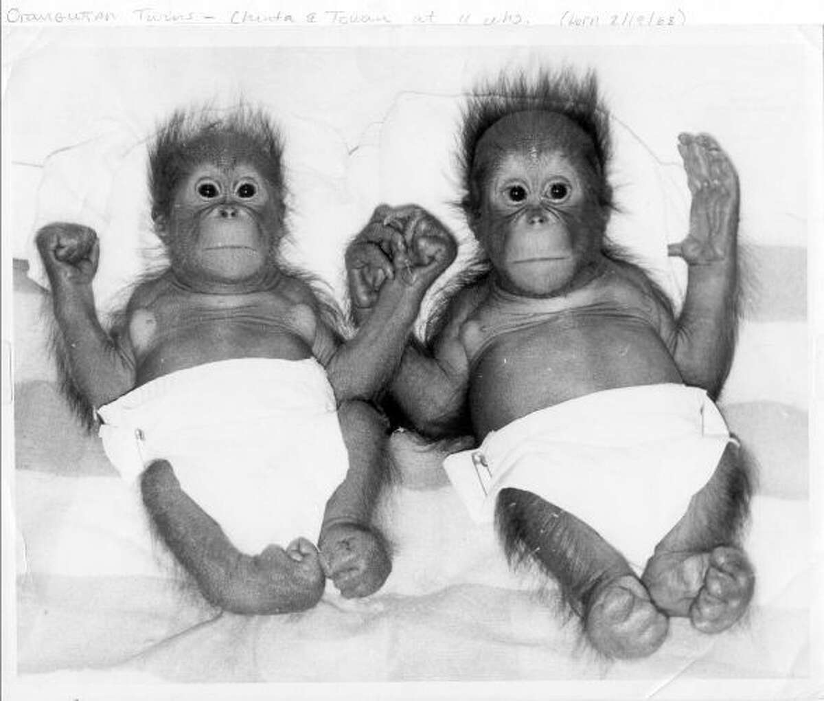 Chinta and late twin brother, Towan, were the first-known twin orangutans born in a zoo.