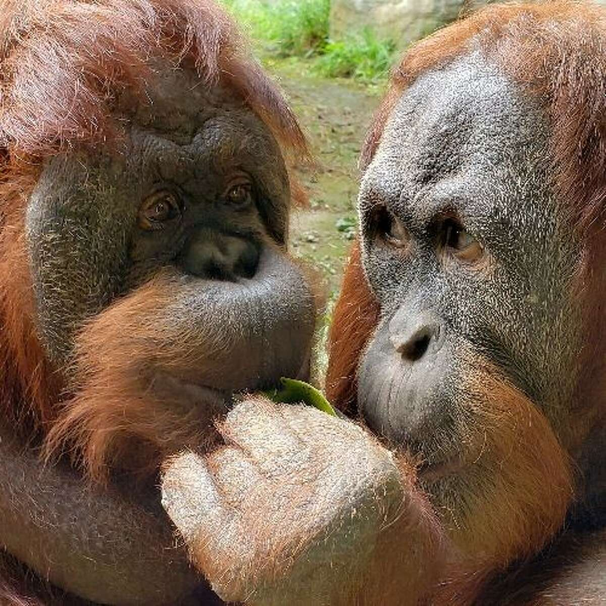 Pictured are Chinta on the left with young male Godek.