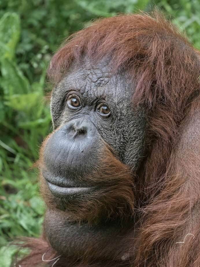 Chinta, a female orangutan at Woodland Park Zoo, peacefully passed away Feb. 18, one day shy of her 52nd birthday. The beloved orangutan is the last remaining animal born at the zoo in the 1960s. Photo: Dennis Dow/Woodland Park Zoo