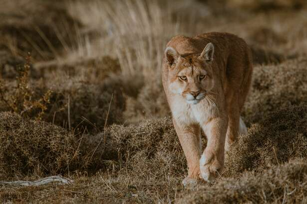 A file photo of a mountain lion. A mountain lion injured a six-year-old girl at Rancho San Antonio Park at Cupertino, leading to its closure Sunday morning.