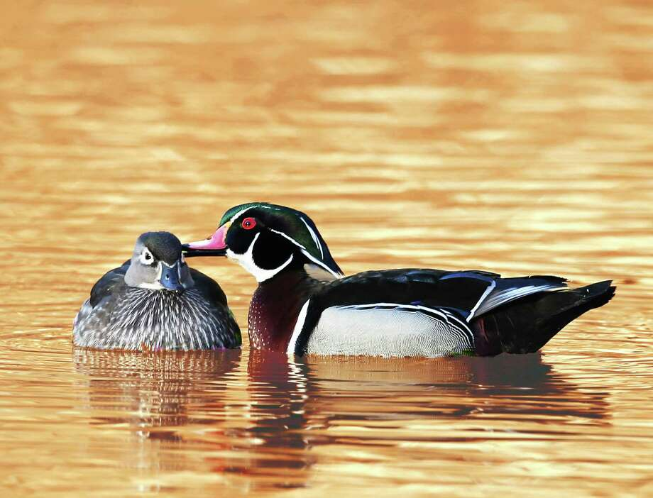 "Sherman Library will open an exhibit, ""Magnificent Birds,"" with a reception Feb. 21 from 6 to 7:30 p.m. The show, which will feature photographs by Jeff Ginsburg and Lu Li, will include an artist talk March 14 at 1 p.m. The show will run through April 1. Above is ""Tender Kiss"" by Lu Li. Photo: Courtesy Of Sherman Library / The News-Times Contributed"