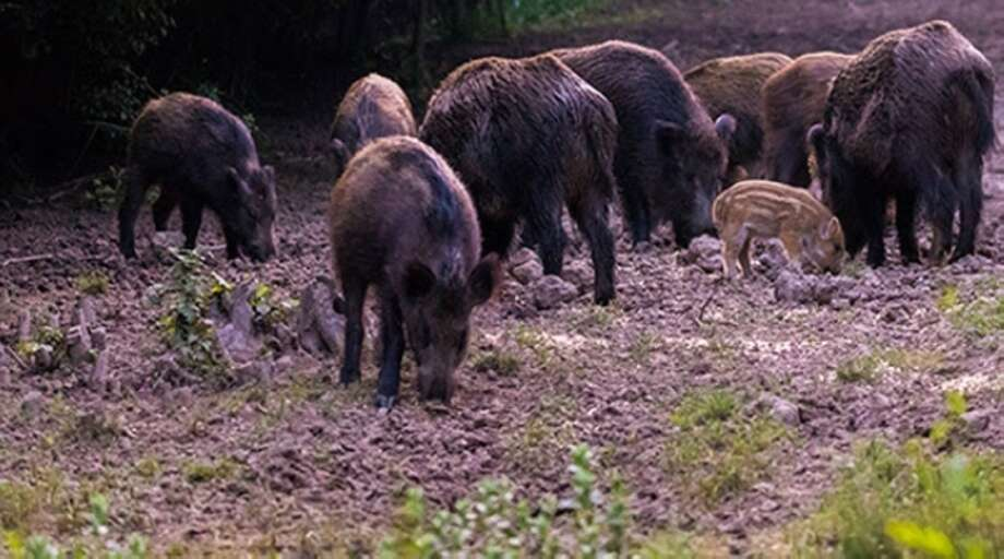 Seabrook Animal Control officials are issuing a new warning for feral hogs after several were spotted at Seabrook's Wildlife Park near Red Bluff Road. Photo: City Of Seabrook