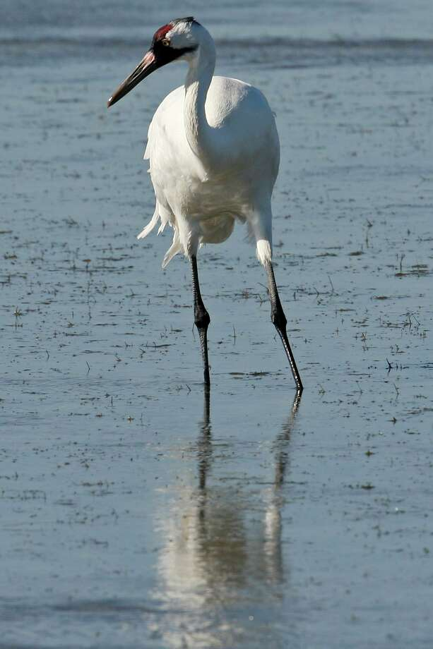 A whooping crane feeds in the Aransas National Wildlife Refuge, Tuesday, Nov. 29, 2011. Area folks are suing the state for control of water from the rivers that empty into the refuges. With the ongoing drought and low river water flow, high salinity in the waters of the bay caused a bloom of red tide that lead to the closing of the oyster season and the decline in blue crabs. The crabs are the main source of food for the cranes. Proponents of the lawsuit state that excessive pumping of the fresh waters from the river systems has contributed to current conditions. JERRY LARA/glara@express-news.net Photo: JERRY LARA / Jerry Lara/Staff / SAN ANTONIO EXPRESS-NEWS