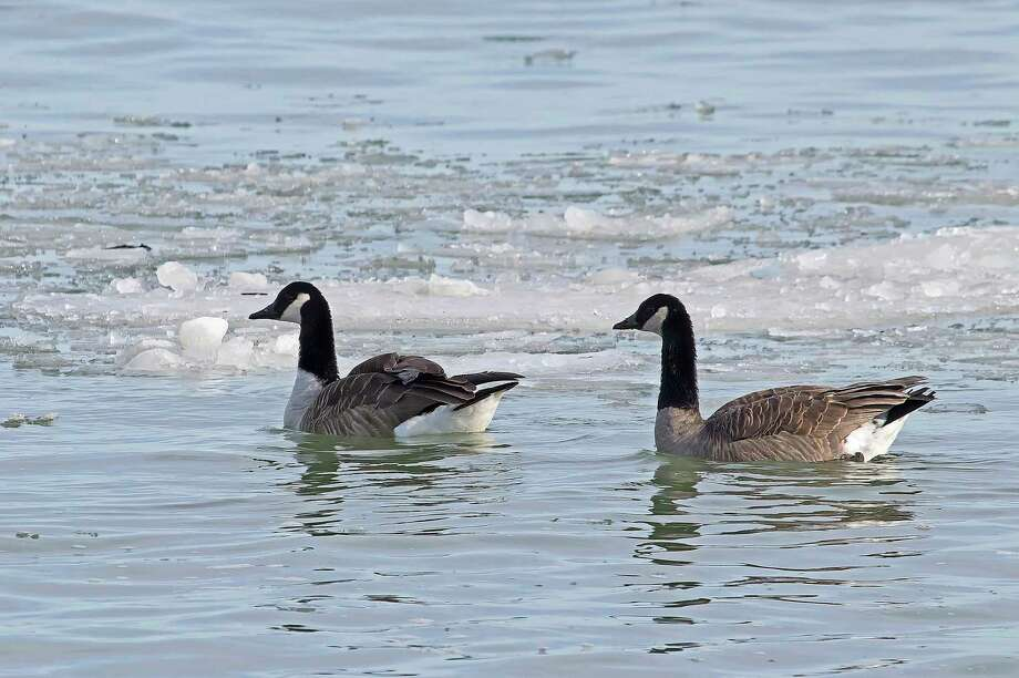 A pair of Canada geese take a swim in icy water in the outer harbor in Grindstone City recently. (Bill Diller/For the Tribune)