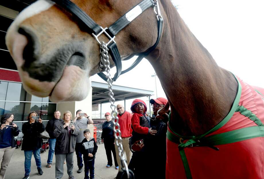 Lester, one of the Budweiser Clydesdales in town for this year's Mardi Gras, draws a crowd as team members take horses out for local stops, including the H-E-B on Dowlen Road, Wednesday. Photo taken Wednesday, February 19, 2020 Kim Brent/The Enterprise Photo: Kim Brent/The Enterprise