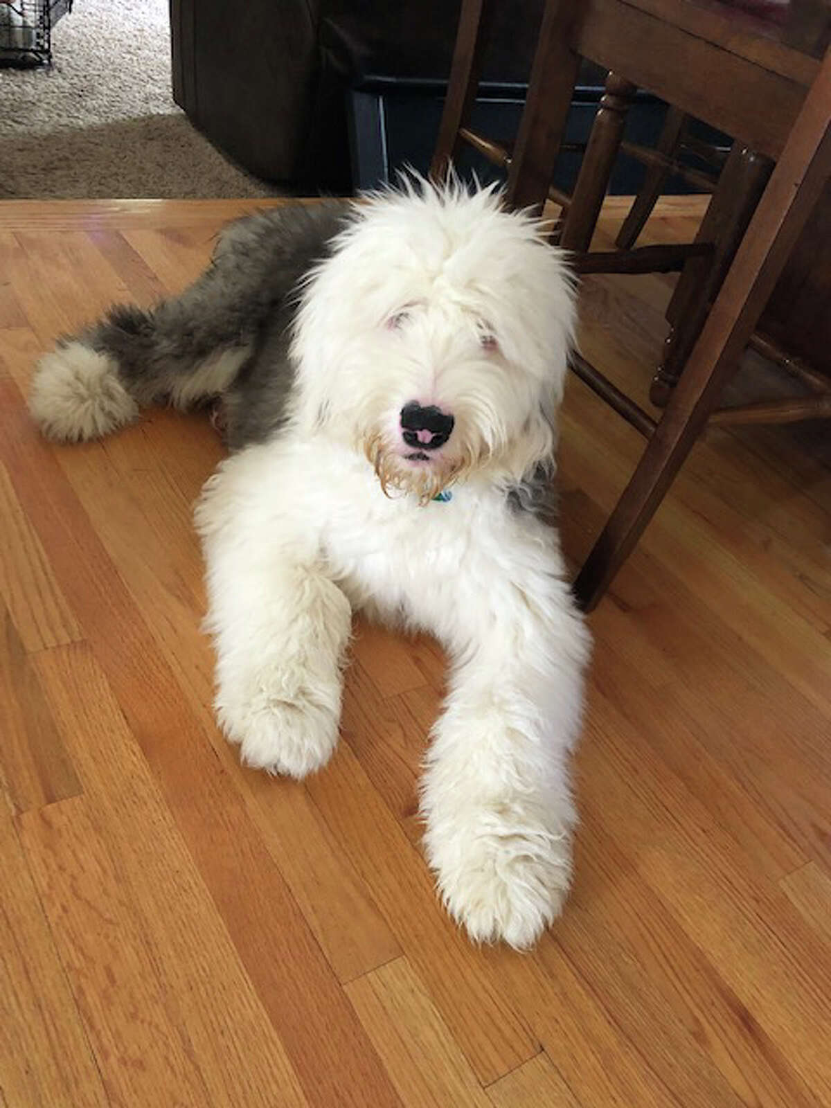 Merissa Mabee sent in this picture of Moose, a 7-month-old English sheepdog rescue.
