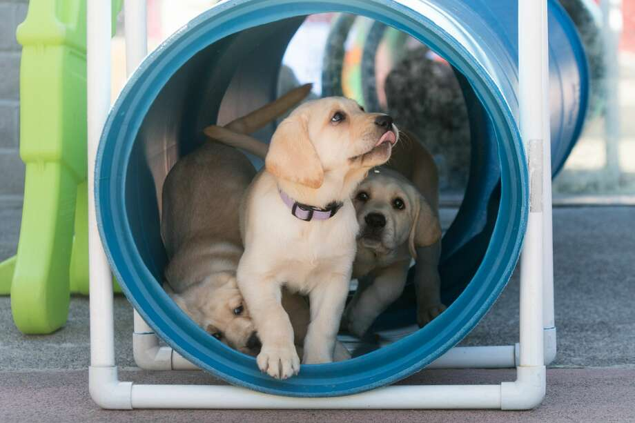 Young Labrador puppy dogs play together during socialization training at the Guide Dogs for the Blind national headquarters in San Rafael, Calif. The puppies are in the first steps of their training to possibly become guide dogs for the blind. Photo: Douglas Zimmerman/SFGate