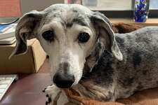 Ashley, a 15-year-old dapple-colored miniature dachshund from Stamford