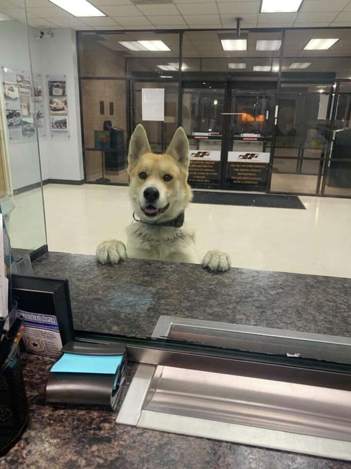 A dog walked into the Odessa Police Department on Feb. 11 and went up to the front desk, according to a Facebook post from Support Our Permian Basin Police Officers. Photo: Odessa Police Department