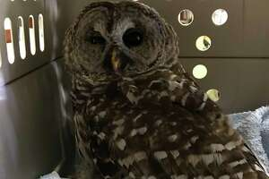 Monroe animal control is asking motorists to beware of owls, after a barred owl was hit by car and killed on Feb. 18, 2020.