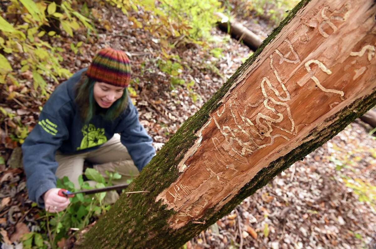 Claire Rutledge, associate agricultural scientist with the Connecticut Agricultural Experiment Station, shaves the bark from an ash tree to reveal tunnels made by the emerald ash borer in a study area at the Cromwell Meadows Wildlife Management Area.