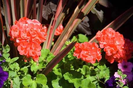 Mix Calliope geraniums with Phormium 'Maori Chief' and Petunia 'Fame Blue Velvet'