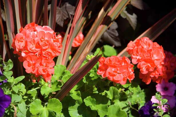 Mix Calliope geraniums with Phormium 'Maori Chief' and Petunia 'Fame Blue Velvet'