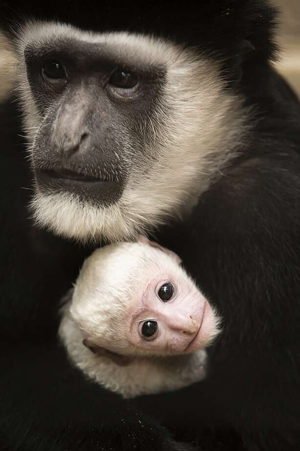 This undated photo provided by the St. Louis Zoo on Thursday, Feb. 20, 2020, Binti, a black and white colobus monkey holds her newborn brother Teak, born Feb. 3 at the zoo. The baby colobus monkey is born with all-white hair and a pink face reaching adult coloration, with black hair and white hair around the face and part of their tails, around 6 months of age. (Ethan Riepl/St. Louis Zoo via AP) Photo: Ethan Riepl, Associated Press